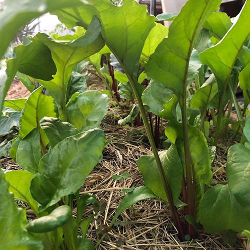 eco-farming Sagewood